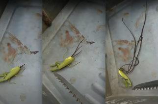 """Captan extraños """"tentáculos"""" que salen del cadáver de una mantis"""