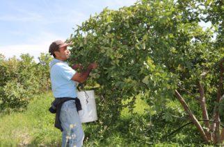Buen año para cosecha en Calvillo: Valdivia