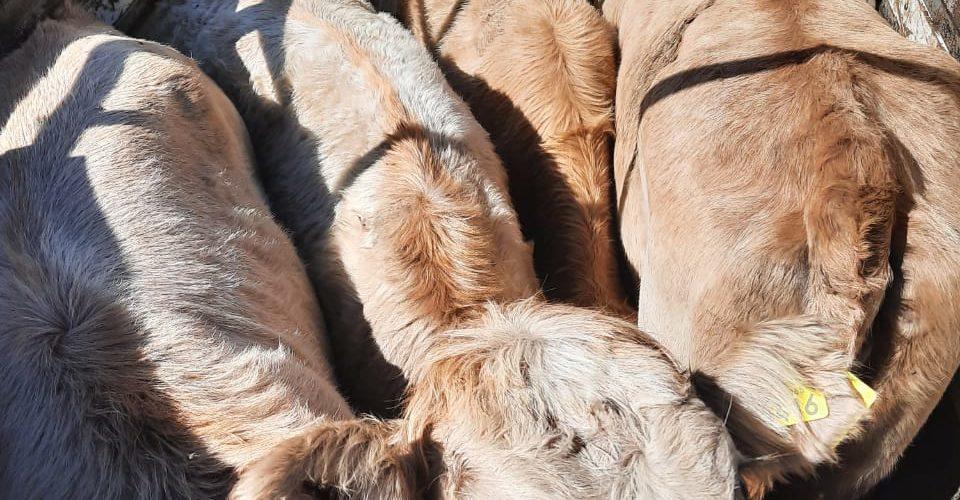 Aseguran bovinos presuntamente robados