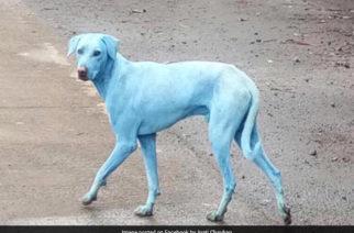 Aparecen perros azules en Mubai