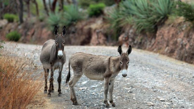 Ofrecen terapias con burros para combatir el estrés por el Coronavirus
