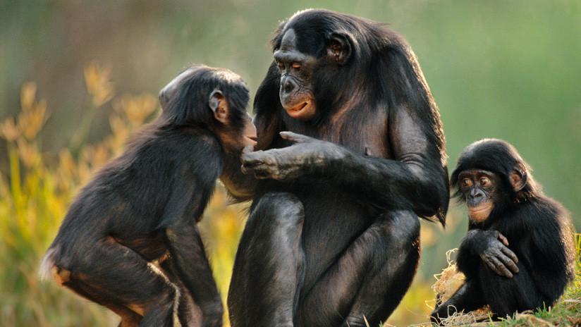 Este fue el resultado de implantar genes humanos en monos