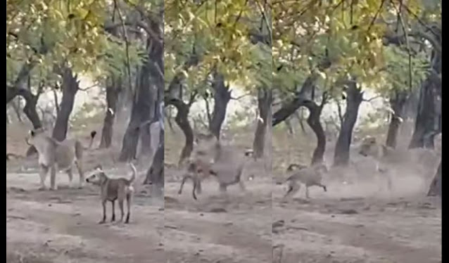 (Video)Perro callejero se avienta un tiro contra una leona en un safari