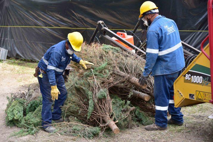 Inicia municipio con recolección de árboles navideños