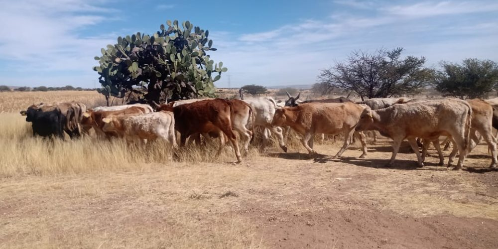 Fueron localizadas 97 cabezas de ganado extraviadas