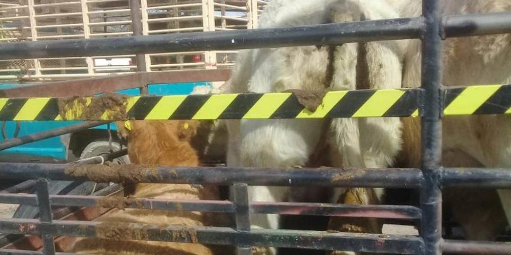 Lo detienen por transportar 5 cabezas de ganado sin la documentación correspondiente