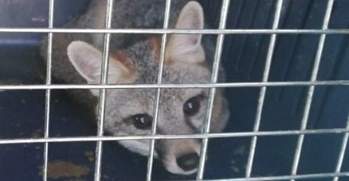 Un gato montés y una zorra gris son regresados a su hábitat natural