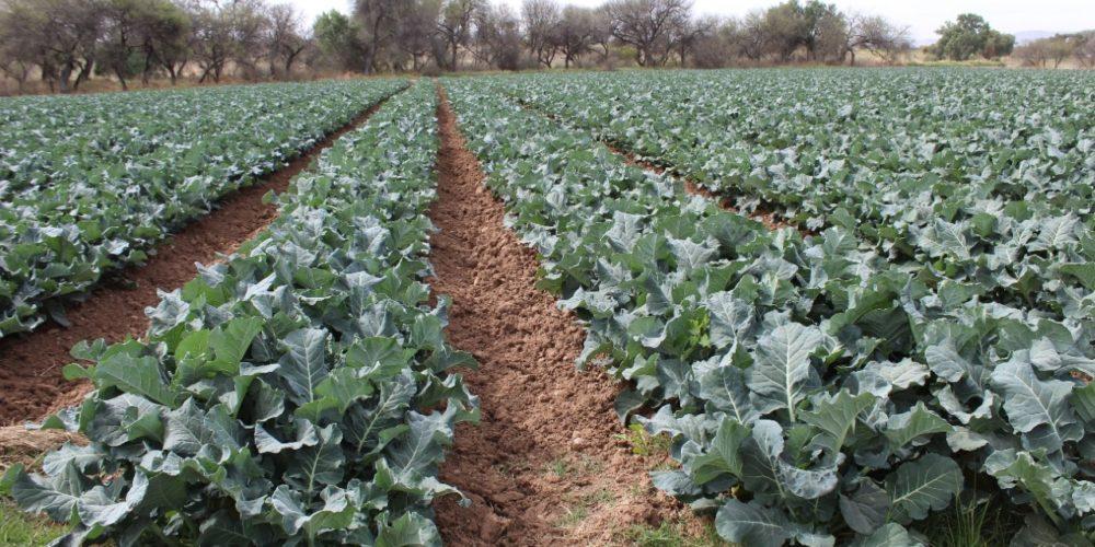 Producción agrícola otoño-invierno al 20 por ciento de avance