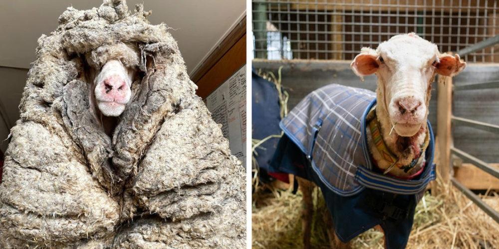 Encuentran una oveja salvaje con más de 35 kilos de lana encima