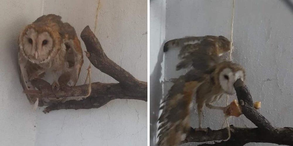 Buscan en Aguascalientes a lechuza que estaba en rehabilitación
