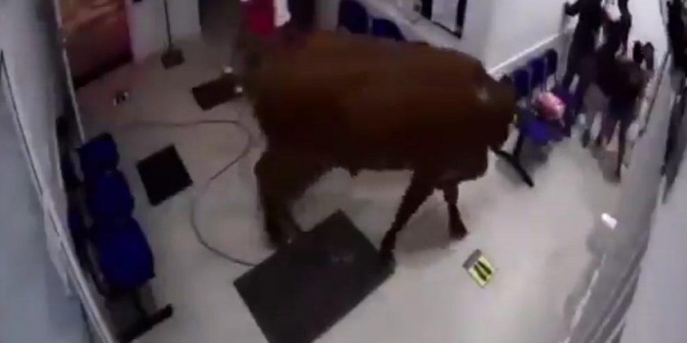 (VIDEO) Vaca irrumpe en hospital y embiste a varias personas