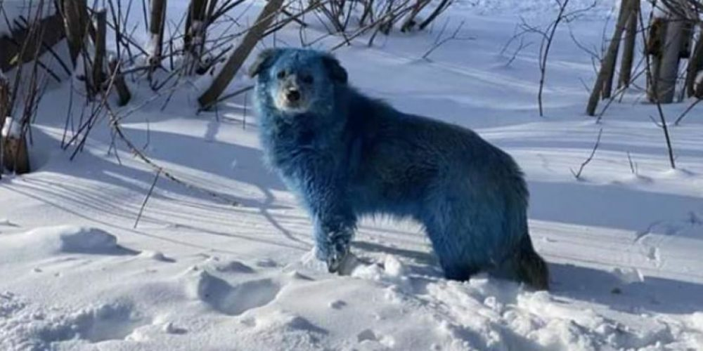 Encuentran manada de perros azules en Rusia
