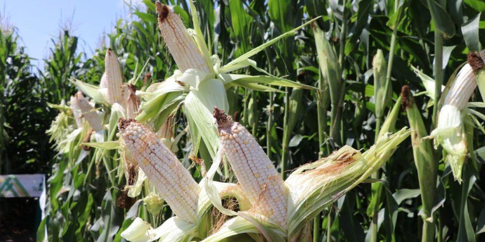 Abren ventanillas para solicitar semilla mejorada de maíz de riego en Aguascalientes