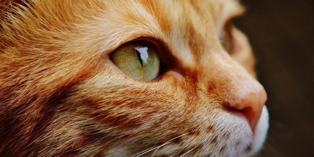 De esta forma puedes averiguar si tu gato tiene conjuntivitis