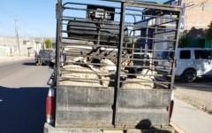 Aseguran 18 cabezas de ganado en Asientos