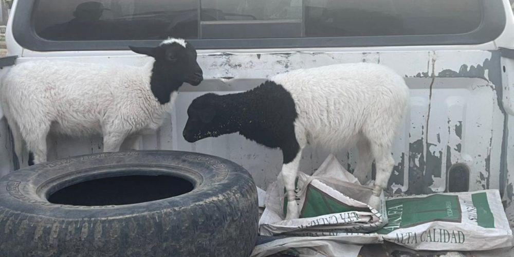 Localizan ovinos que se encontraban extraviados en el municipio de Asientos
