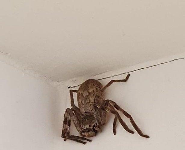 Mujer se lleva el susto de su vida al encontrar araña gigante en su baño