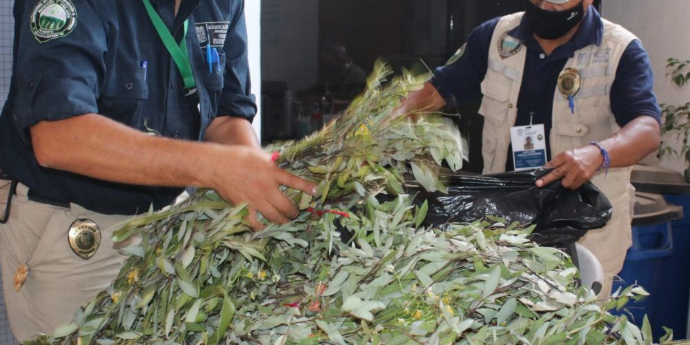 Decomisaron laurel en templos de Aguascalientes