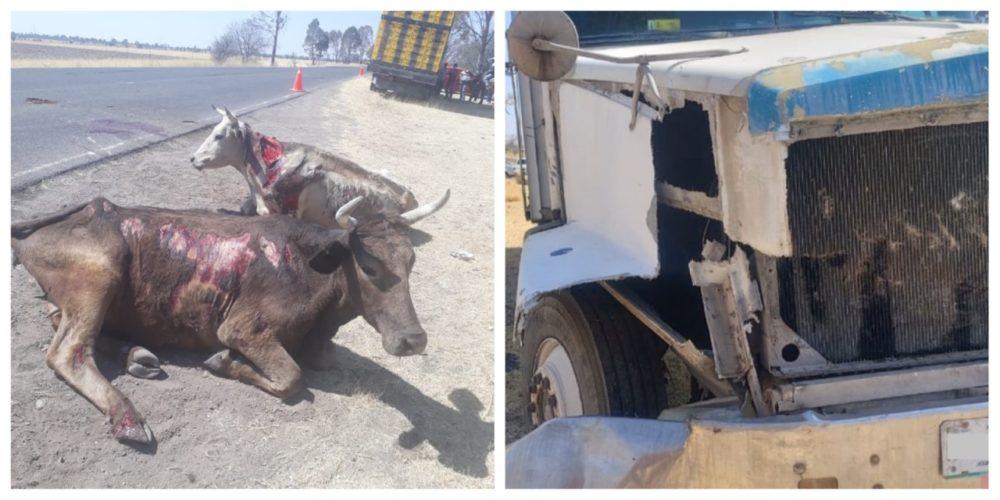 Vacas resultan lesionadas tras ser atropelladas por un camión torton