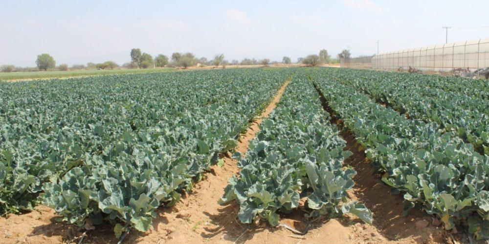Impulsan cultivos de brócoli en Aguascalientes