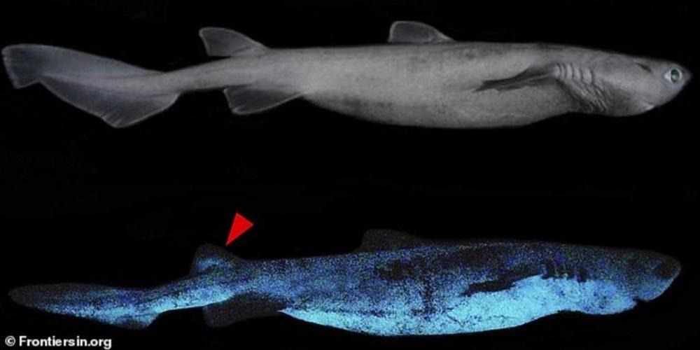 Encuentran en Nueva Zelanda a tres tiburones que brillan en la oscuridad