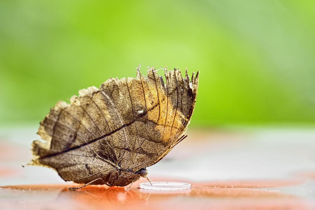 Camuflaje perfecto: la mariposa de hoja seca