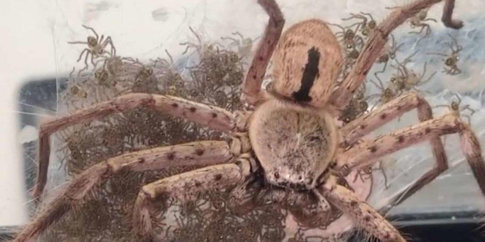 Mujer ayuda a araña gigante a tener a sus 200 crías