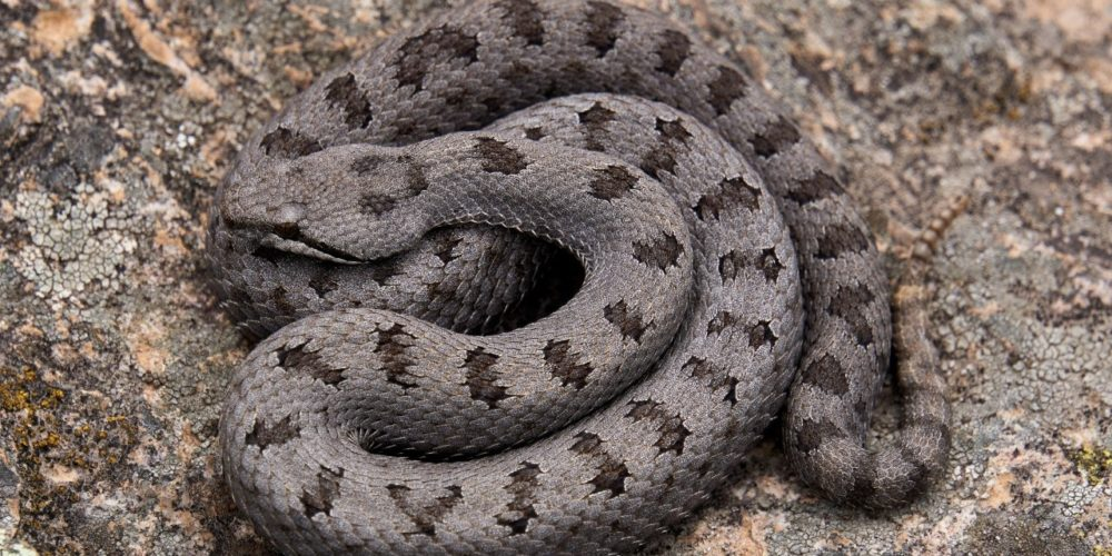 Estudiante de la UAA investiga serpiente endémica de Aguascalientes