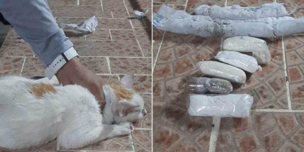 Descubren que utilizaban a un gato para pasar drogas a una cárcel de Panamá