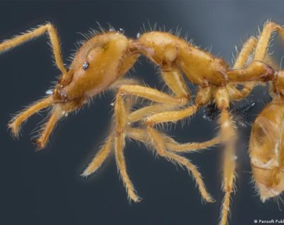 Bautizan con nombre de género neutro a una nueva especie de hormiga