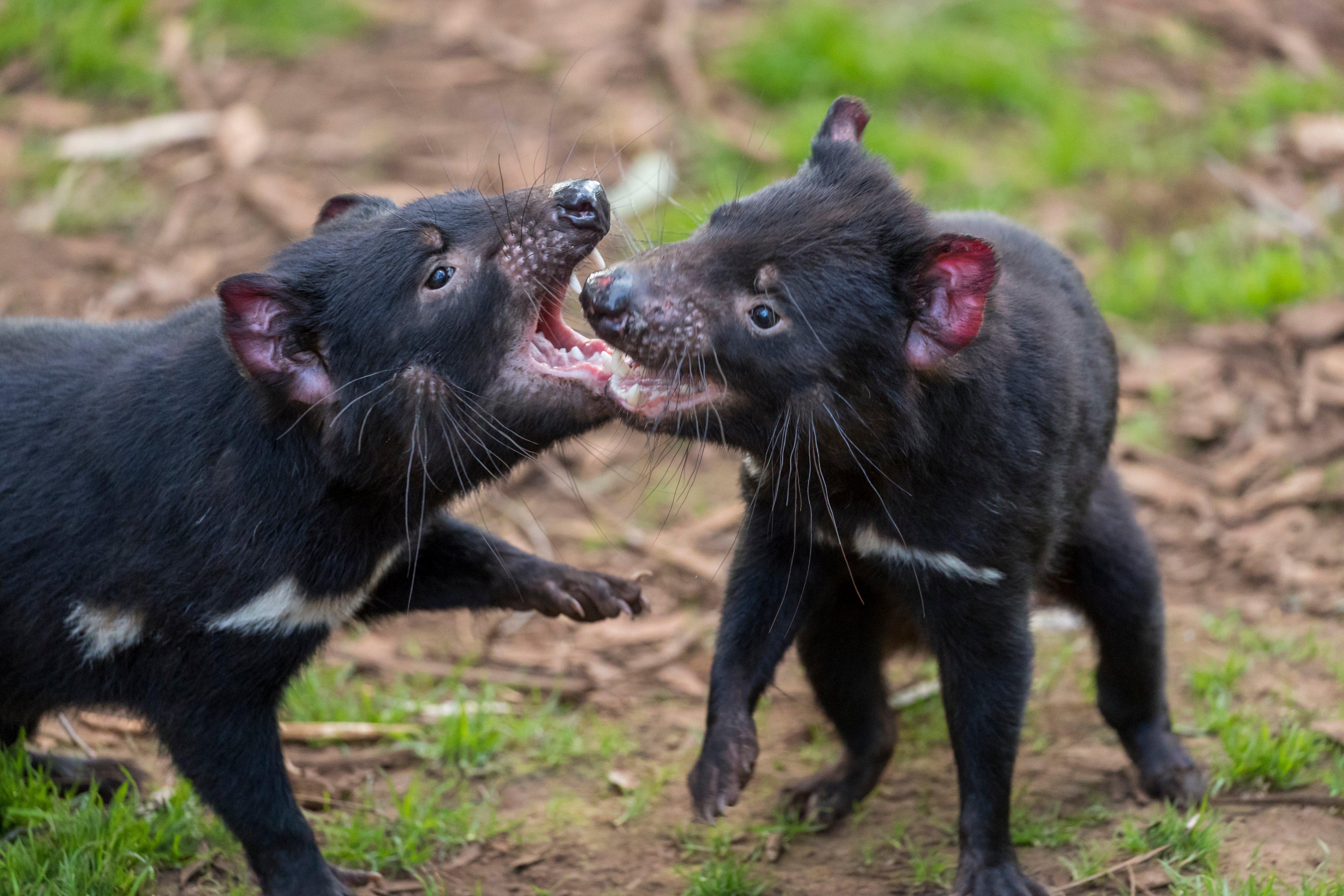 Nacen siete demonios de Tasmania por primera vez en 3 mil años