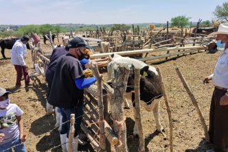 Clínica veterinaria ambulatoria municipal atendió servicios de vacunación de ganado