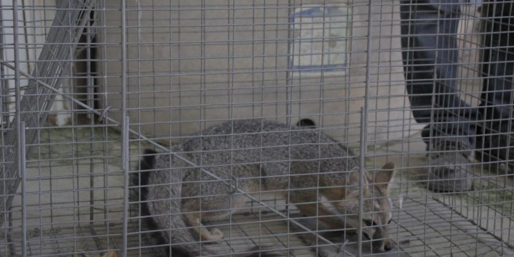 Emiten recomendaciones para actuar ante visita de animales silvestres en hogares
