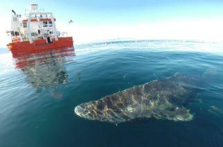 Encuentran a tiburón boreal que podría tener más de 500 años de vida