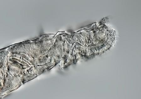 Animal microscópico vuelve a la vida tras  permanecer congelado por 24 mil años