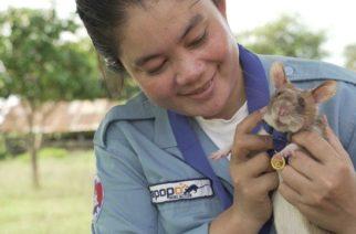 Camboya jubila a rata experta en buscar minas tras 5 años de servicio
