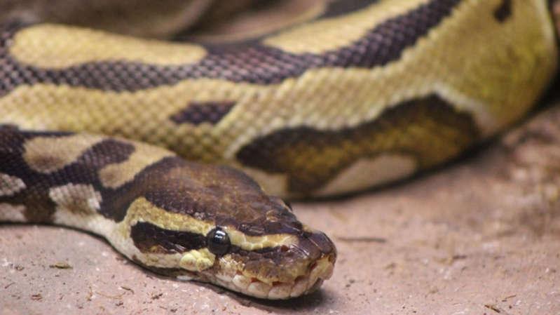 Lo muerde serpiente mientras estaba sentado en la taza del baño