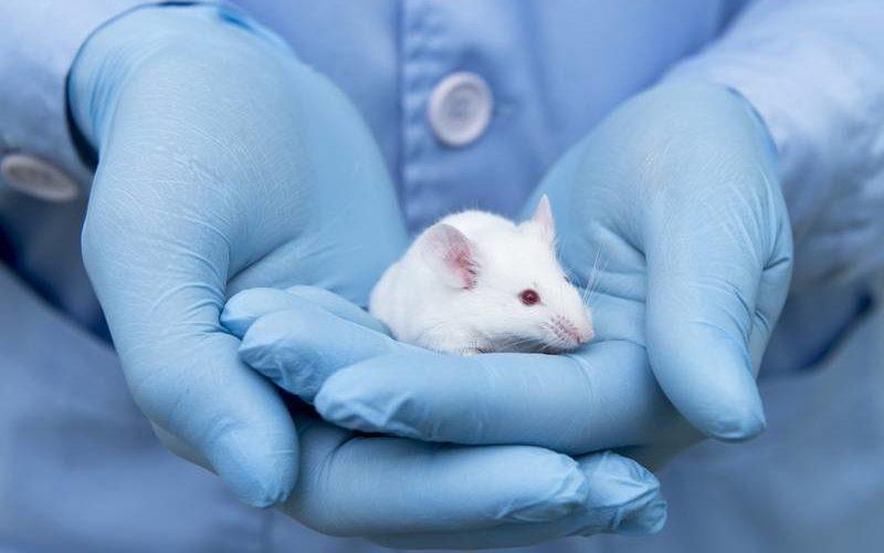 Laboratorio australiano proveedor de ratas de experimentación cerrará sus puertas