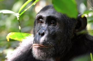 Prohíben la entrada a zoológico a una mujer que sostenía una relación con un chimpancé