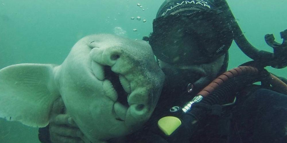 Tiburón nada hasta un buzo para abrazarlo cada vez que lo ve
